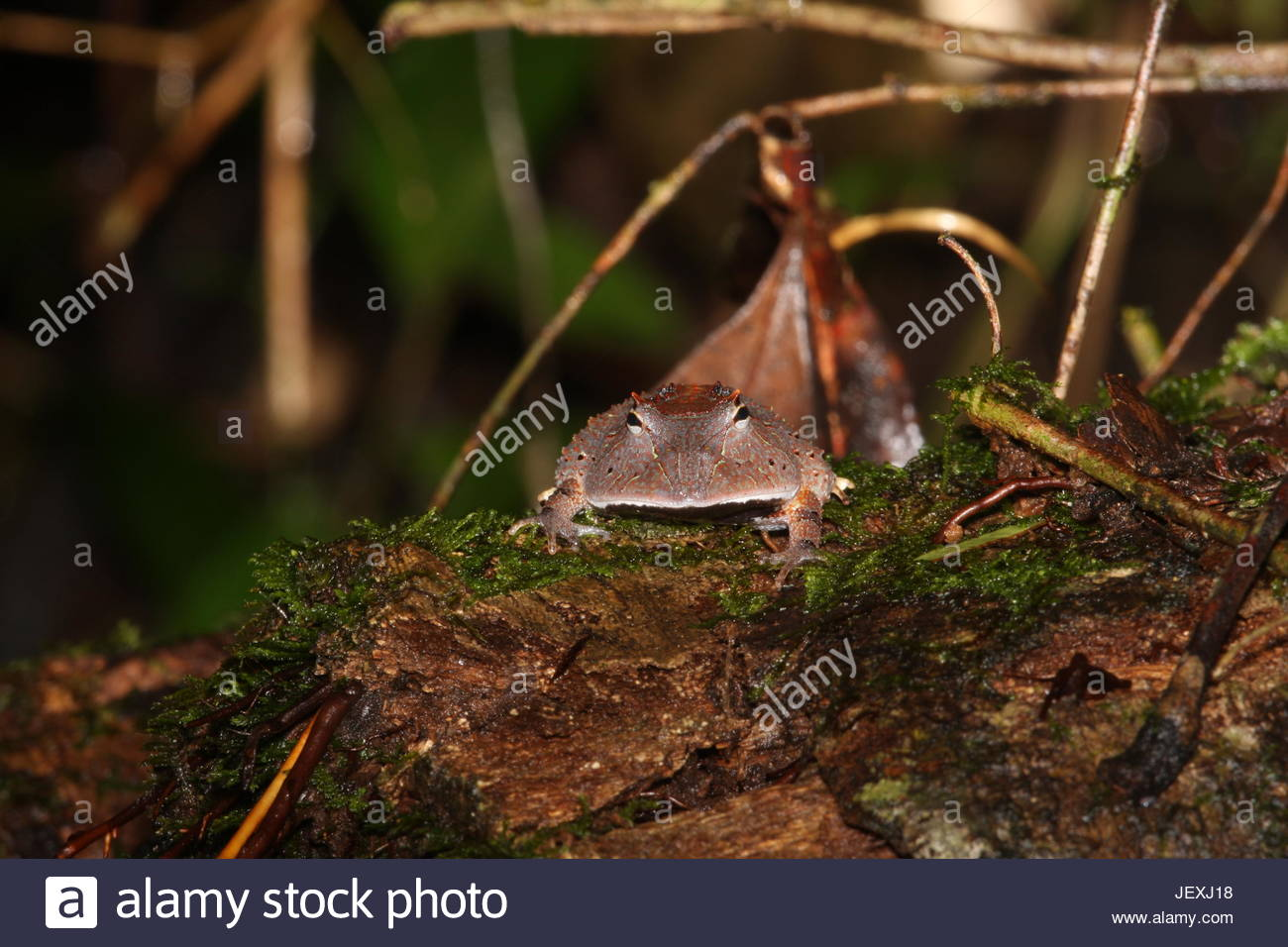 Amazon horned frog, Ceratophrys cornuta. Aggressively territorial and voracious. Will attack anything their size - Stock Image