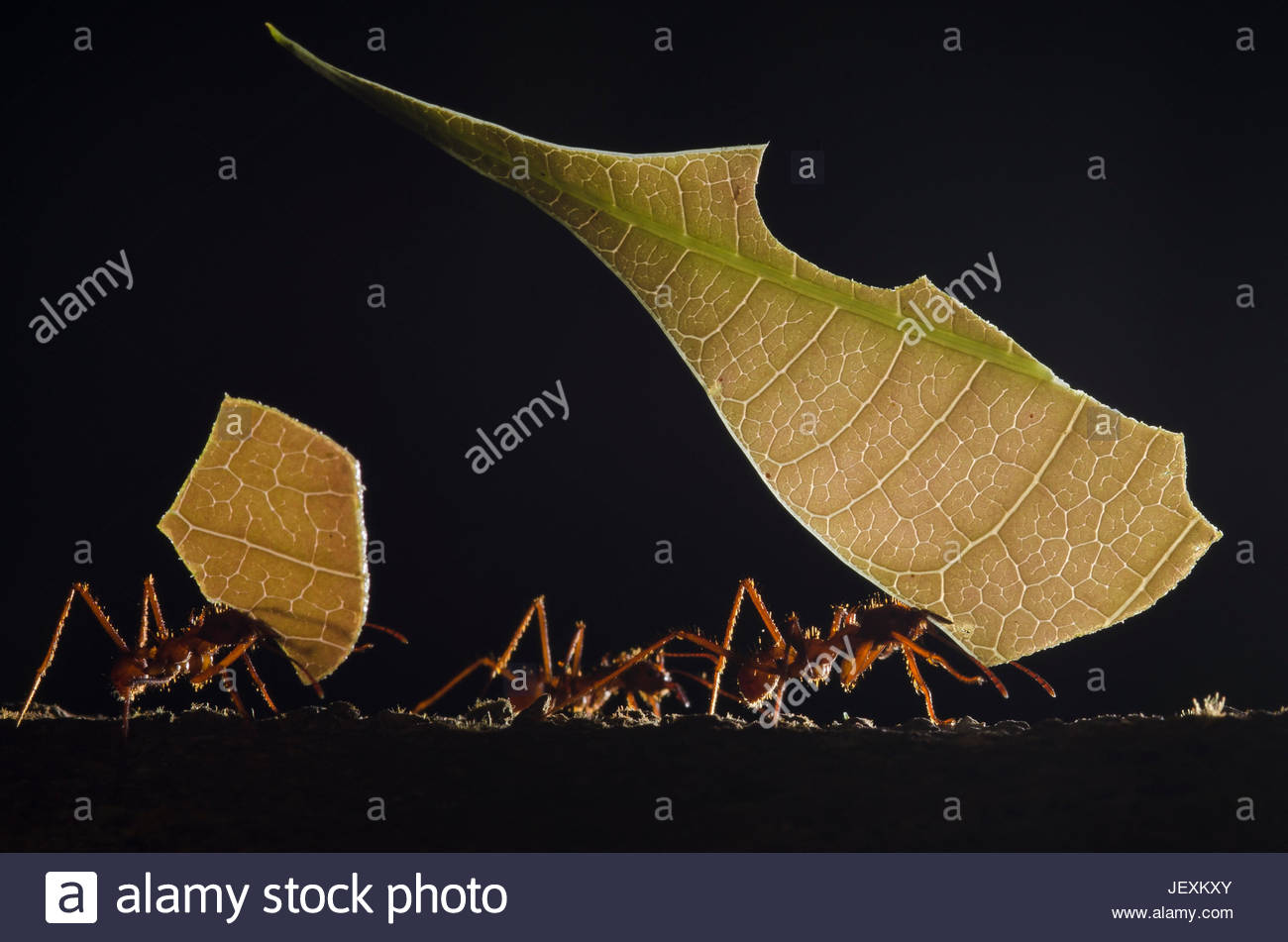 Leaf cutter ants carrying leaves back to their nest to cultivate a fungus. - Stock Image