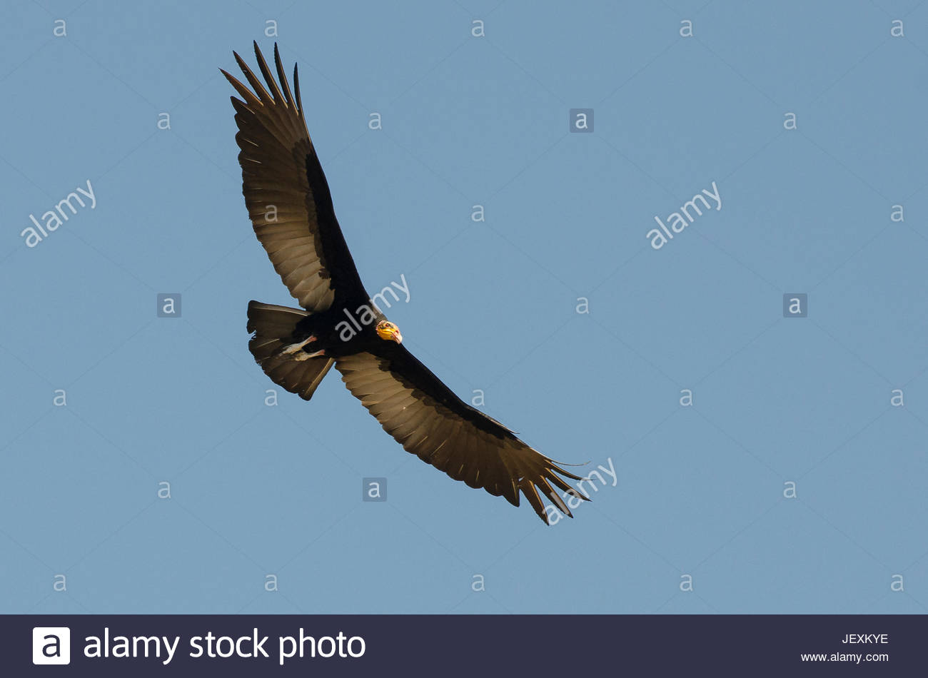A lesser yellow-headed vulture, Cathartes burrovianus, in flight. Stock Photo