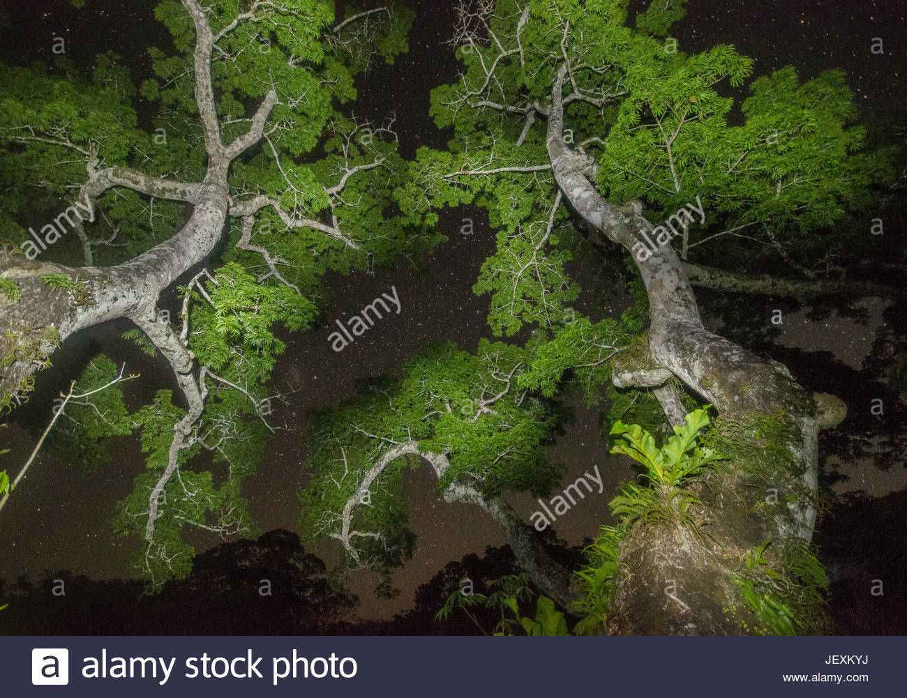 The rainforest canopy at night with stars. & The rainforest canopy at night with stars Stock Photo: 146874550 - Alamy