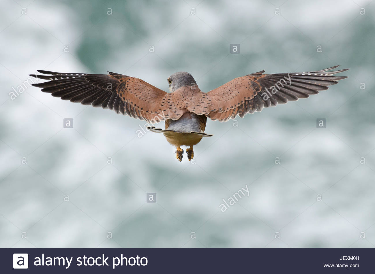 An Eurasian kestrel, Falco tinnunculus, hovering while hunting rodents on coastal cliffs. - Stock Image