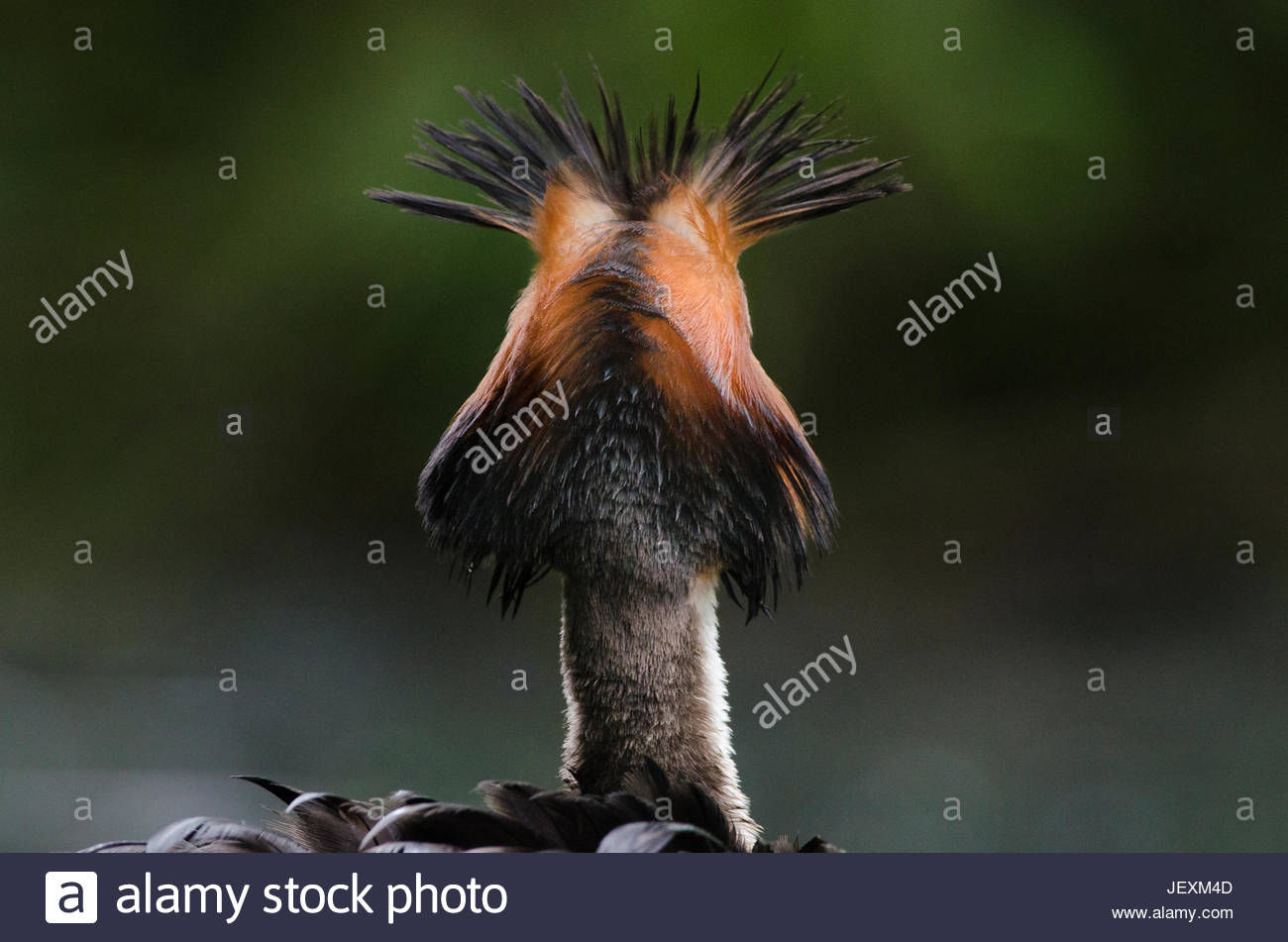 A great crested grebe, Podiceps cristatus, erecting its head plumes in a threat display to an intruding bird. - Stock Image