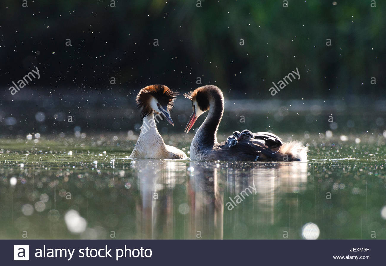 A pair of great crested grebes, Podiceps cristatus, courts following a territorial dispute with a neighboring pair. - Stock Image