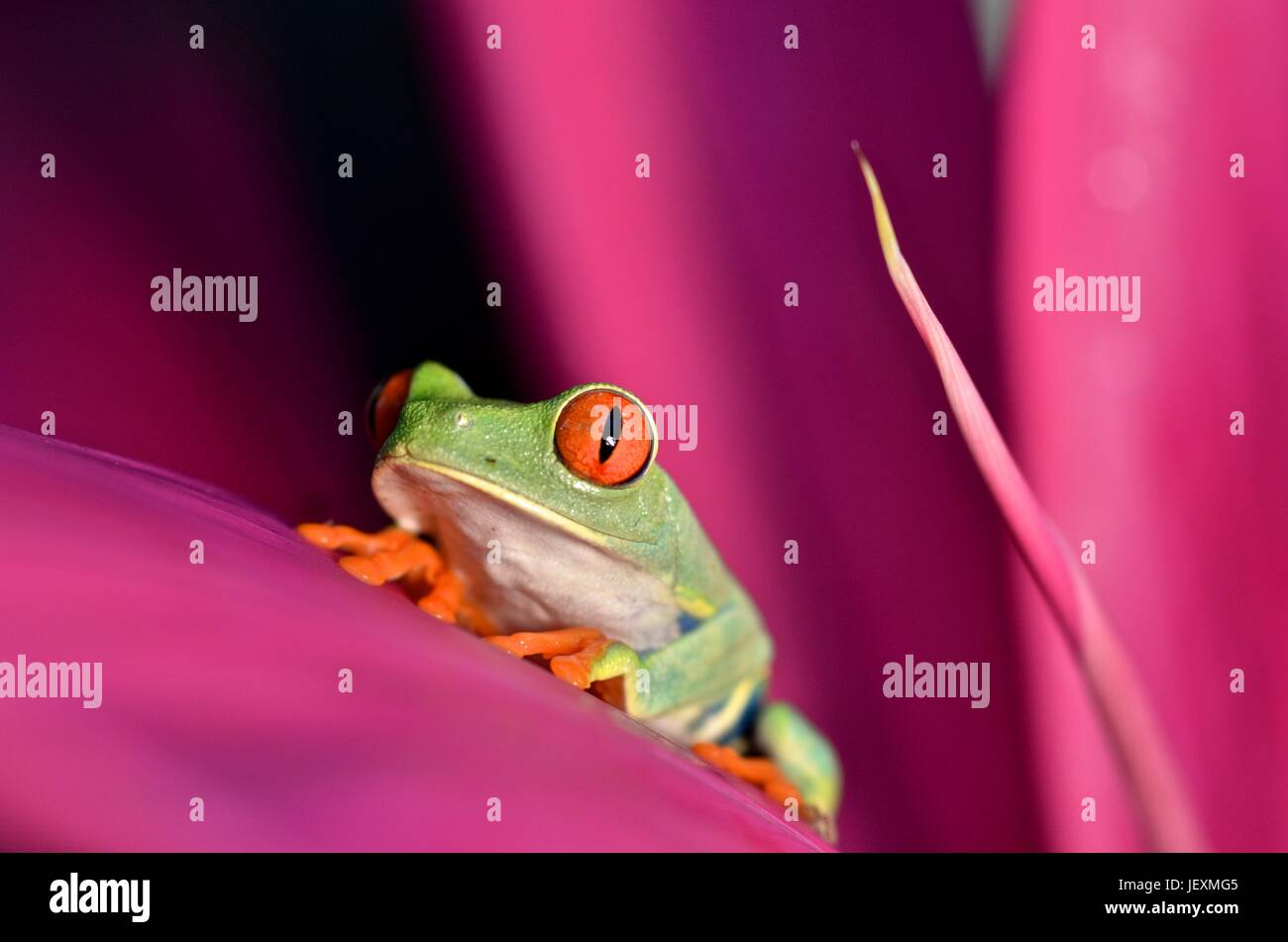 A red eyed tree frog, Agalychnis callidryas, rests on a leaf at Tortuguero National Park. - Stock Image