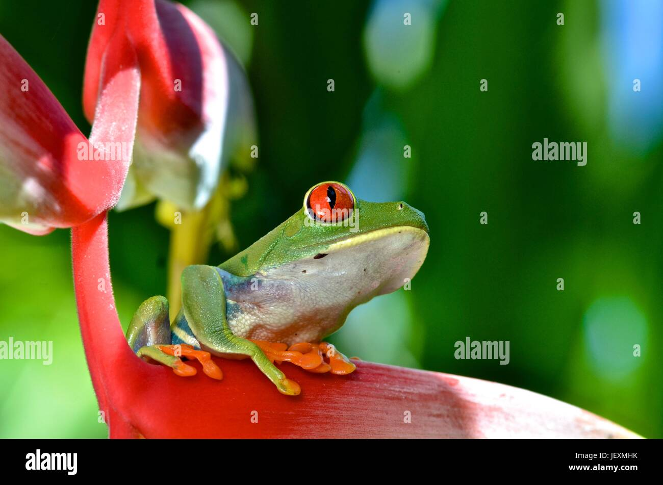 A red eyed tree frog, Agalychnis callidryas, rests on a plant at Tortuguero National Park. - Stock Image