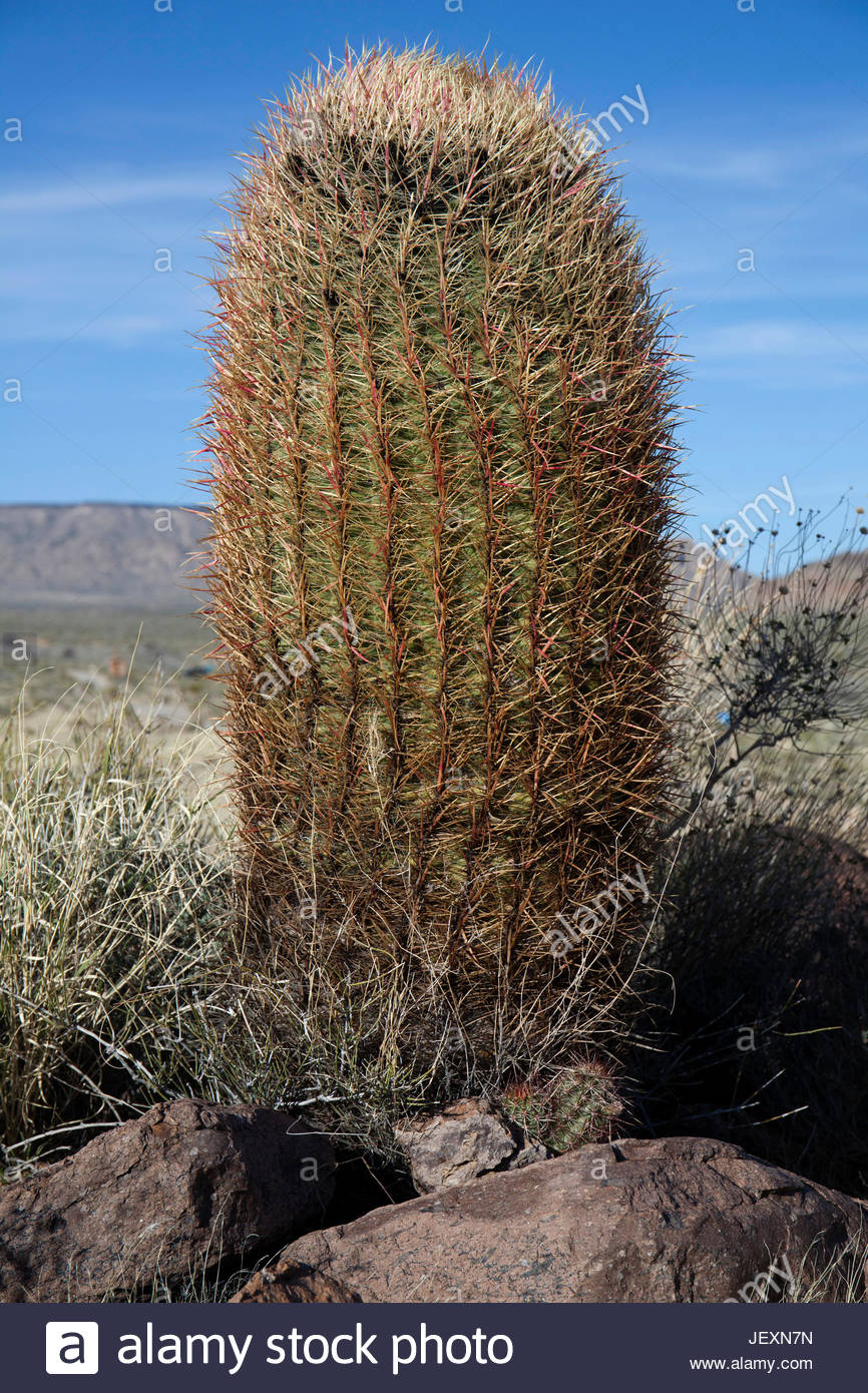 A barrel cactus growing in the Hole-in-the-Wall area of the Mojave National Preserve, California. Stock Photo