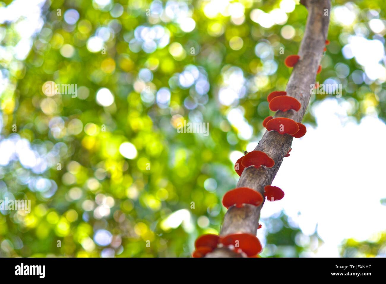 Red fungi grows on a tree branch in the Poco das Antas Biological Reserve. Stock Photo