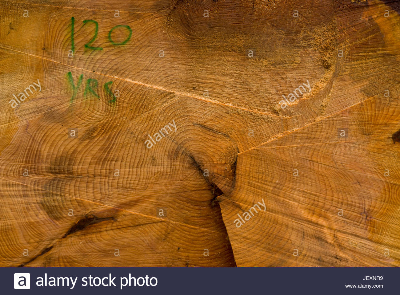 The age of a tree is written on its tree rings. - Stock Image