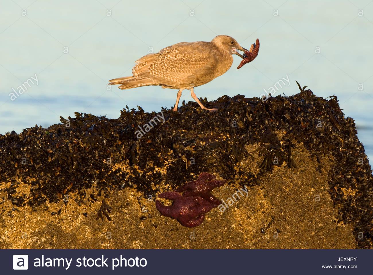 A gull, Laridae with a purple starfish, Pisaster ochraceus in its beak. - Stock Image