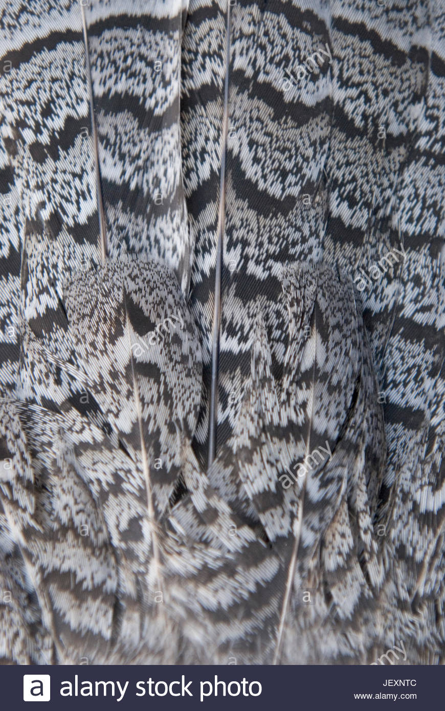 A close-up of feathers of a ruffed grouse, Bonasa umbellus. - Stock Image
