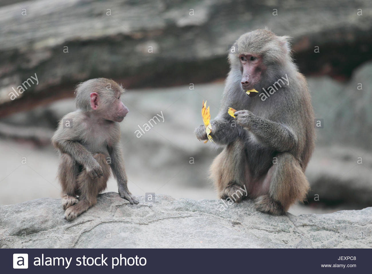 Portrait of a young and adult hamadryas or scared baboon, Papio hamadryas, a species of baboon from the Old World - Stock Image