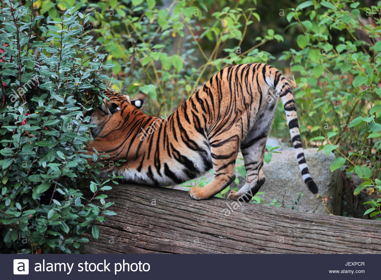 A captive Siberian or Amur tiger, Panthera tigris altaica, an endangered species, stretching. - Stock Image