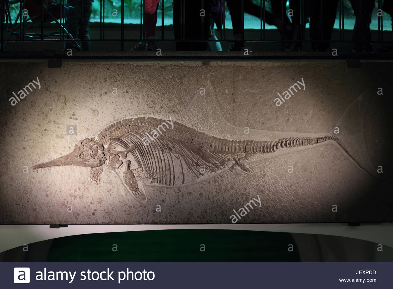 Fossil of Stenopterygius, formerly ichthyosaurus, an extinct genus of thunnosaur ichthyosaur known from Europe. - Stock Image