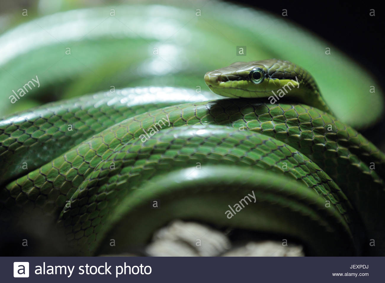 Close up portrait of a red-tailed green rat snake, arboreal rat snake, or red-tailed racer, Gonyosoma oxycephalum, - Stock Image