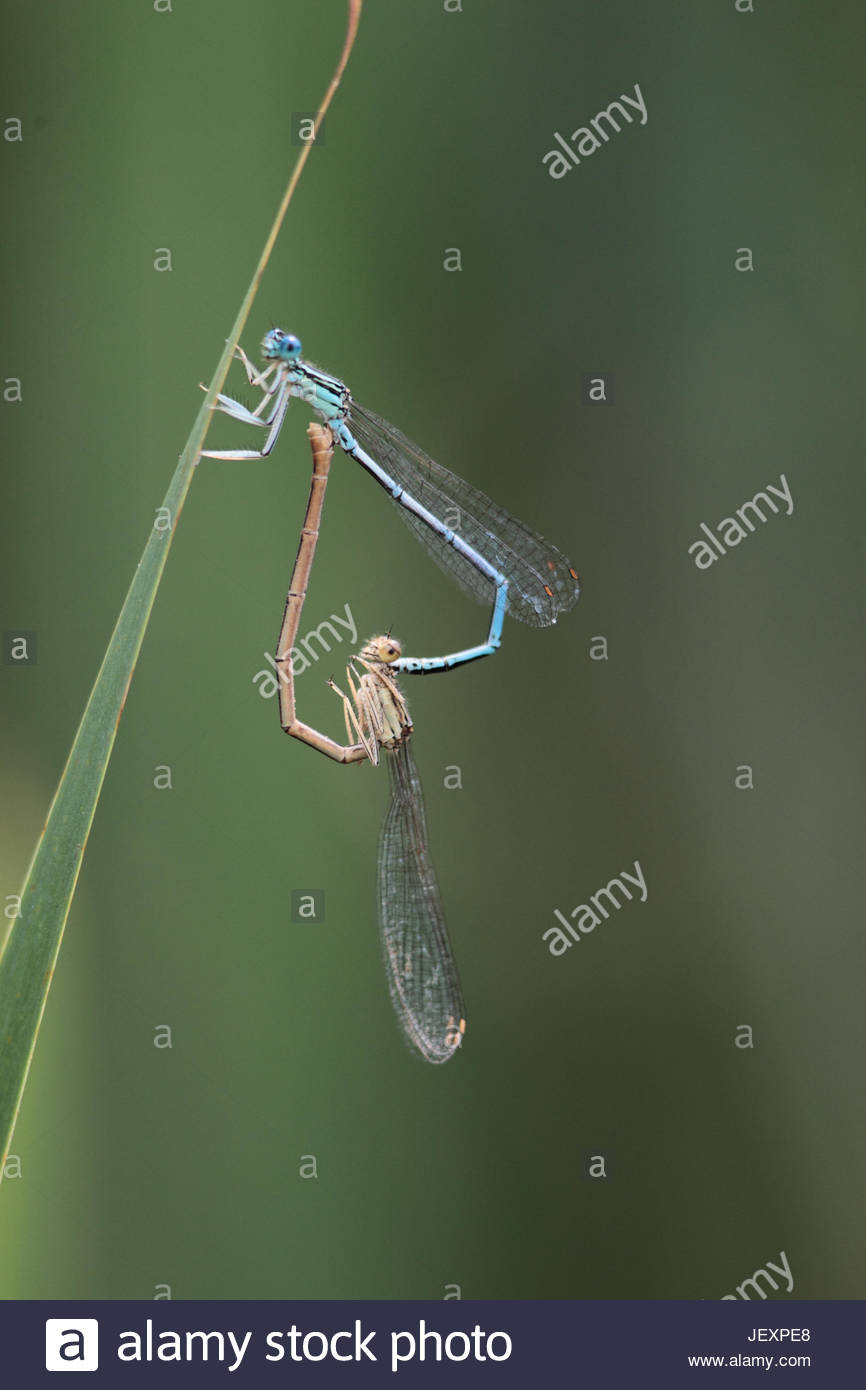 White-legged or blue featherleg damselflies, Platycnemis pennipes, mating. They occur from the Atlantic to Siberia, - Stock Image