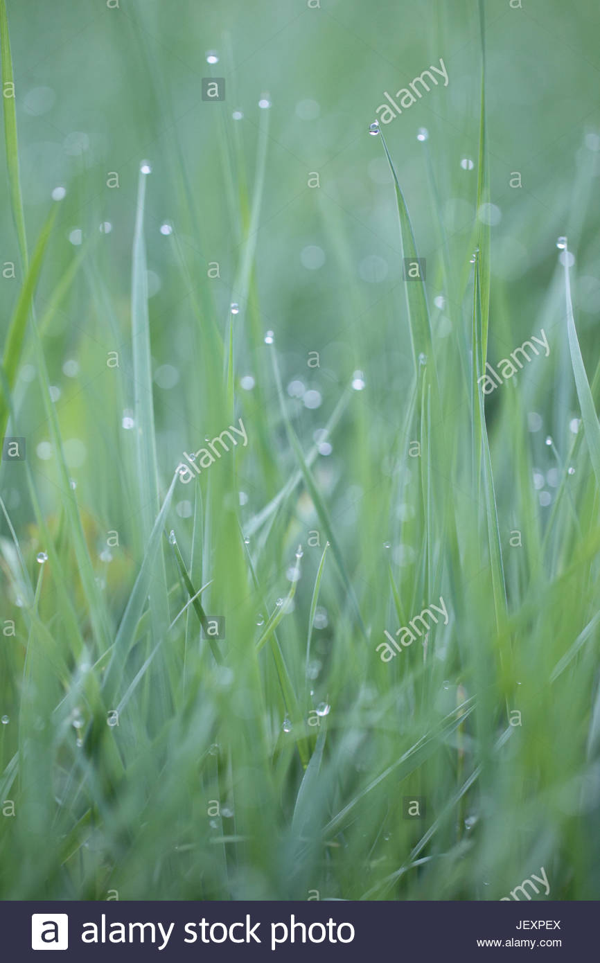 Close up of blades of grass with drops of dew on their tips. - Stock Image
