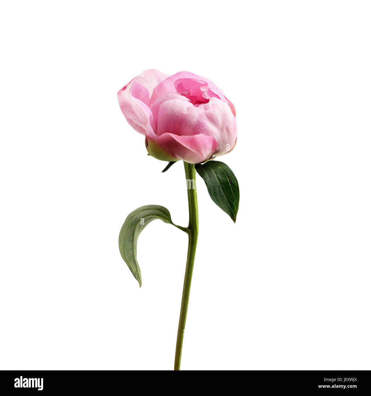 Pink peony flower isolated on white background. - Stock Image