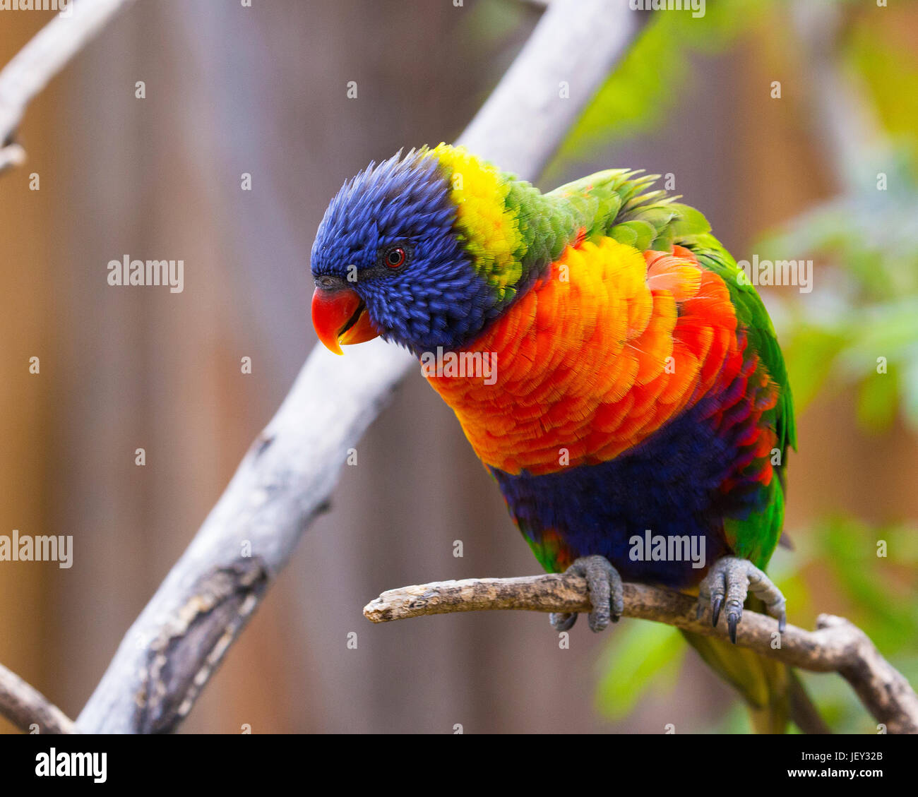 Portrait of Parrot - Rainbow Lorikeet - Stock Image