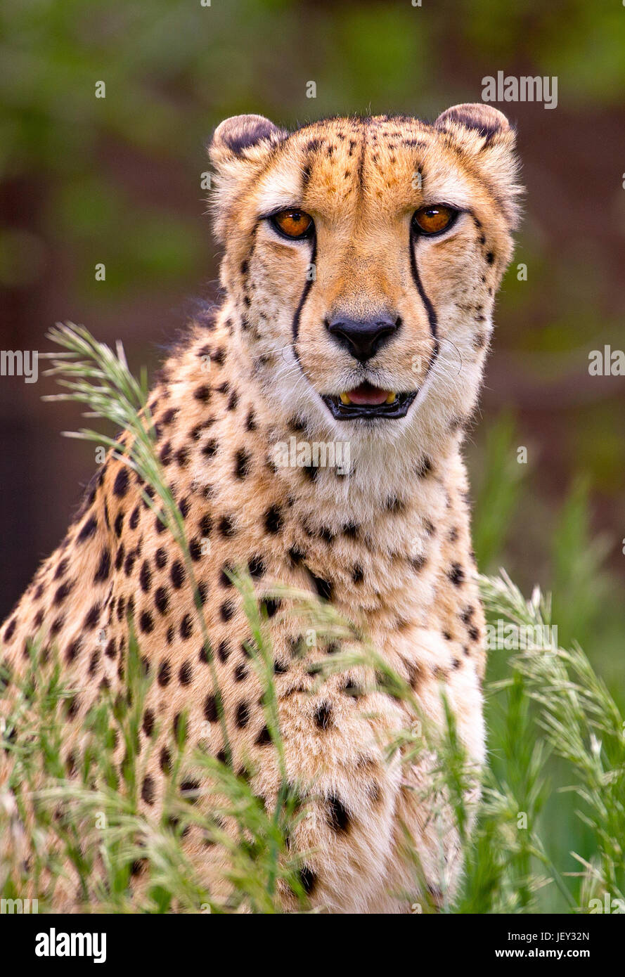 Portrait of cheetah in high grass - Stock Image