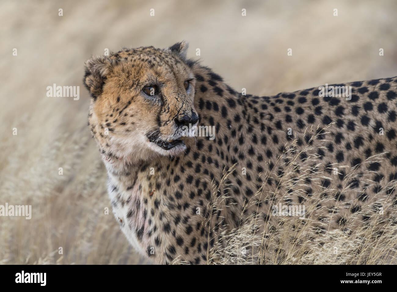 Cheetah, (Acinonyx jubatus) Stock Photo
