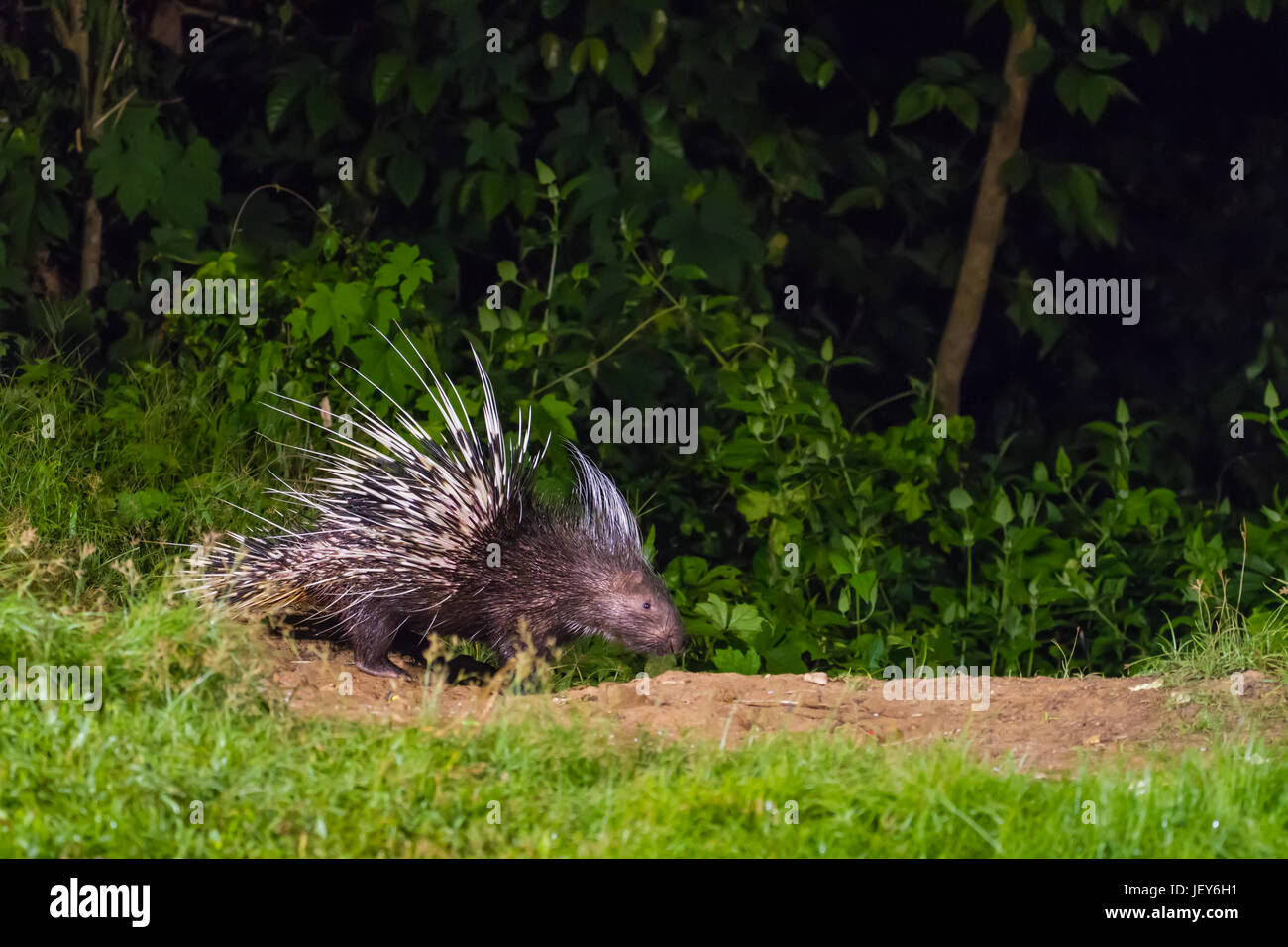 Malayan porcupine (Hystrix brachyura) in nature at night time - Stock Image