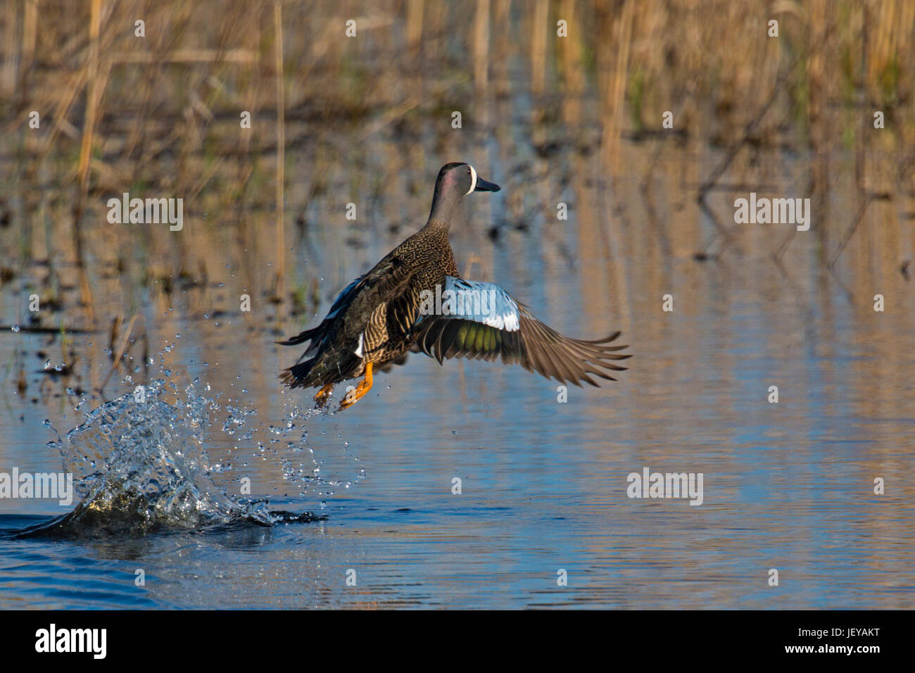 Blue-winged Teal male takes flight from marsh in morning light - Stock Image