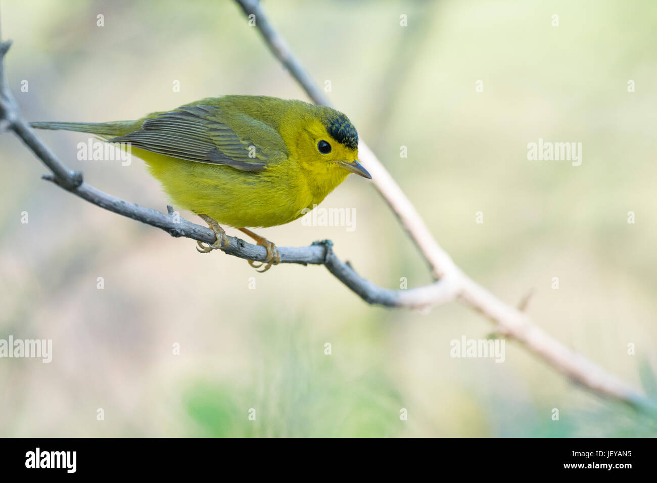 Wilson's Warbler alert on branch at Magee Marsh, OH, USA - Stock Image
