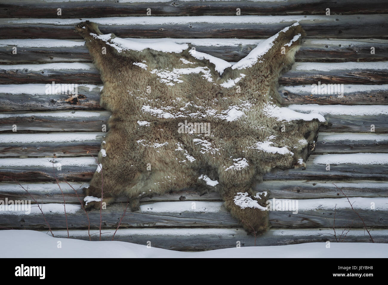 Bear skin mounted on the wall of a traditional log cabin in winter. - Stock Image