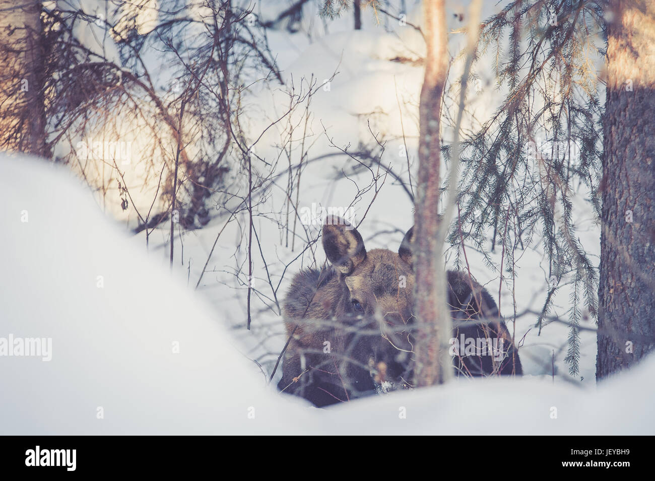 Young female moose at rest in her natural habitat near Fairbanks, AK. Stock Photo