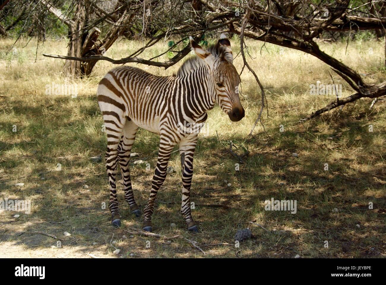 Baby Zebra - Stock Image