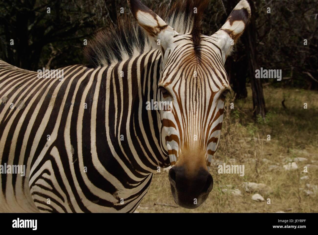 Staring Down a Zebra - Stock Image