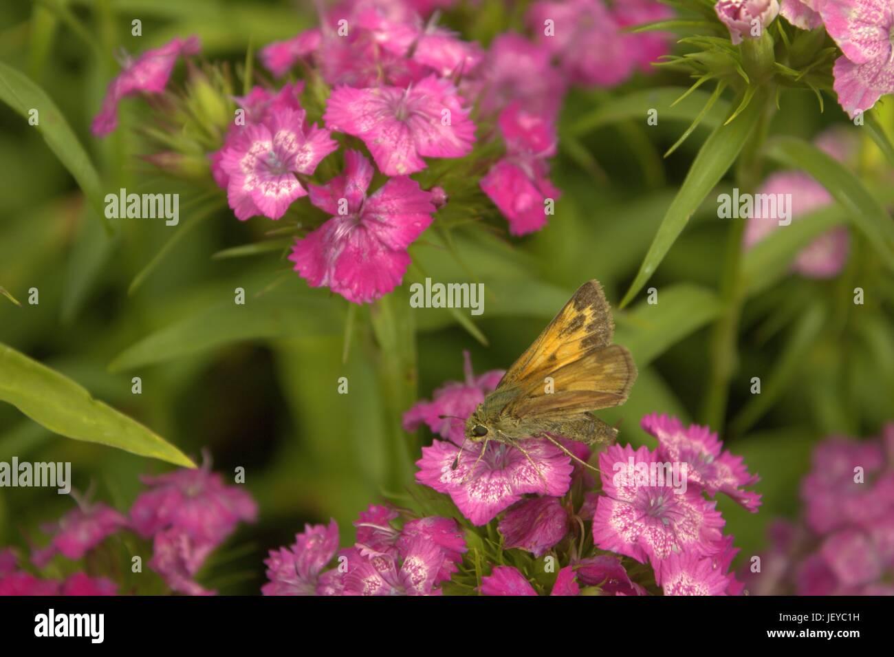 Little Glassywing Skipper Butterfly On Sweet Williams - Stock Image