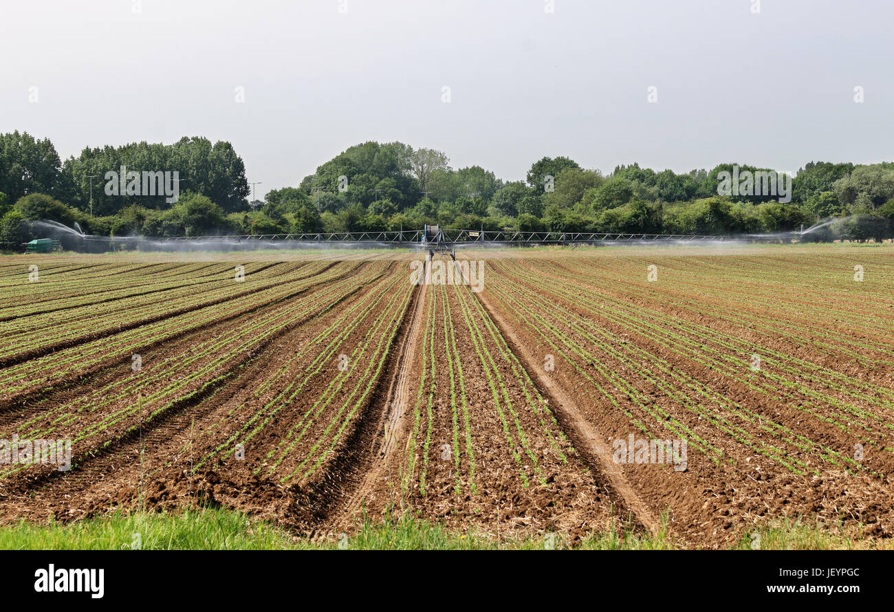 Field of Crops being watered with an irrigation machine - Stock Image