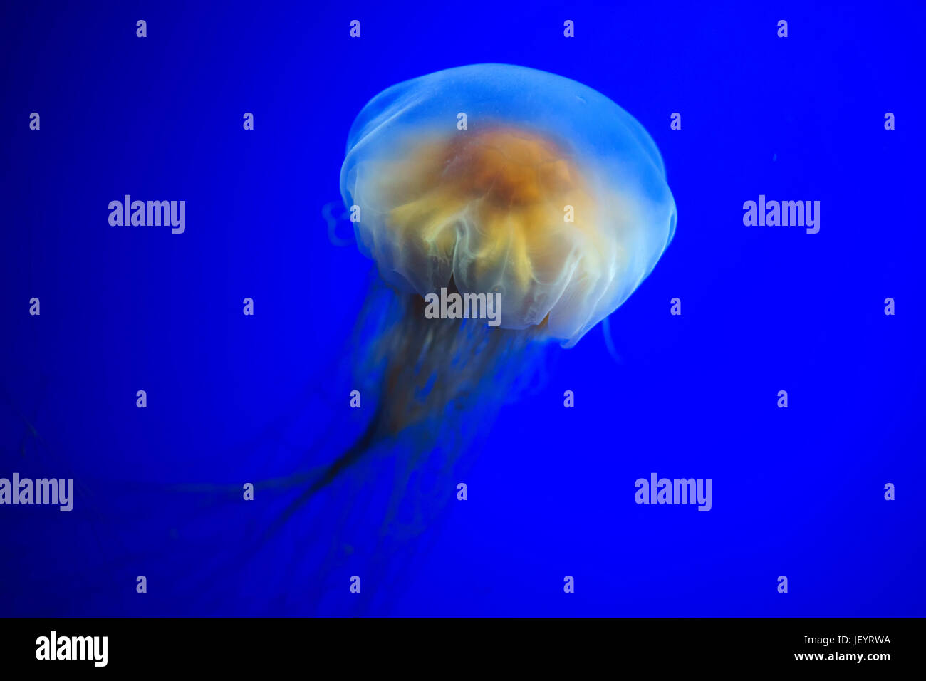 Lion's mane jellyfish - Stock Image