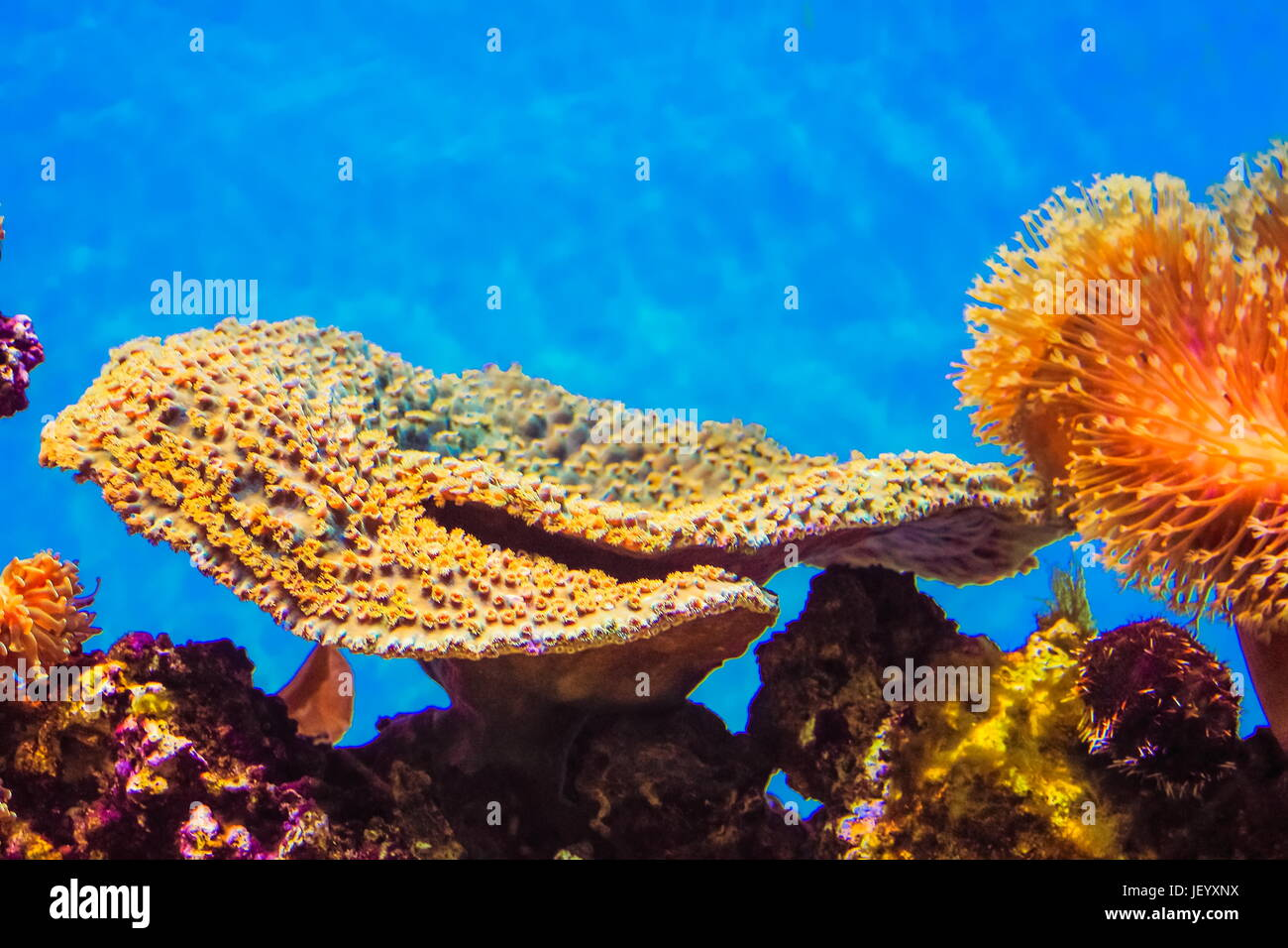 Montipora Coral - Montipora is a genus of small polyp stony coral in the phylum Cnidaria. - Stock Image