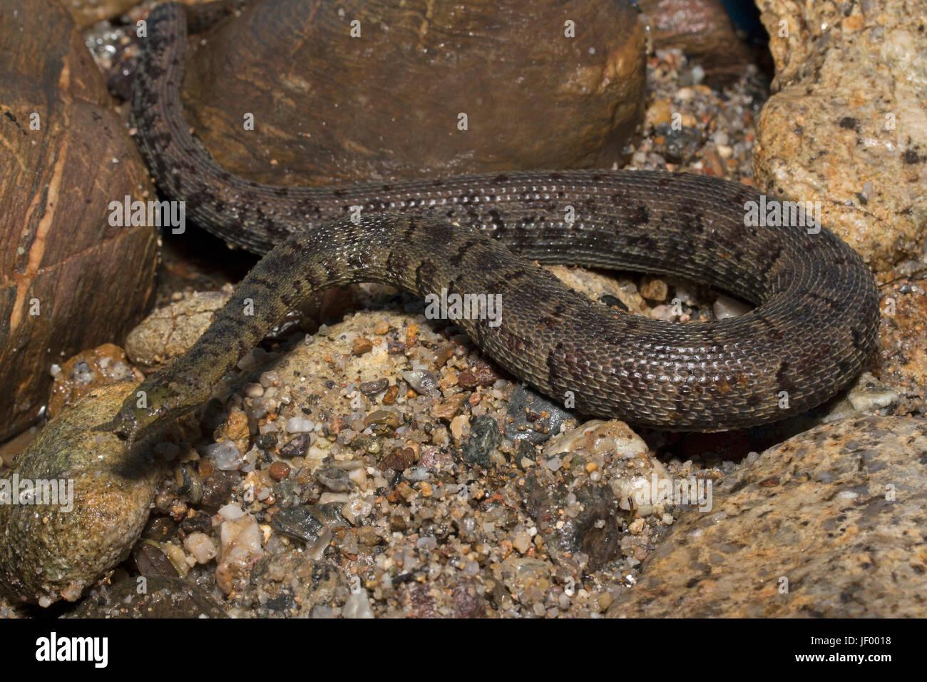 Tentacled  Snake Stock Photo