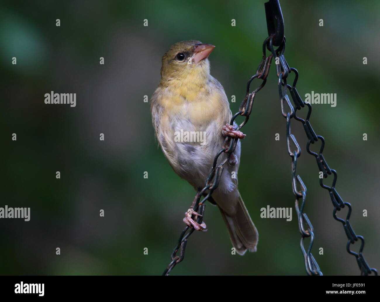 A bird perched on a chain in landscape format with clear green background and copy space - Stock Image