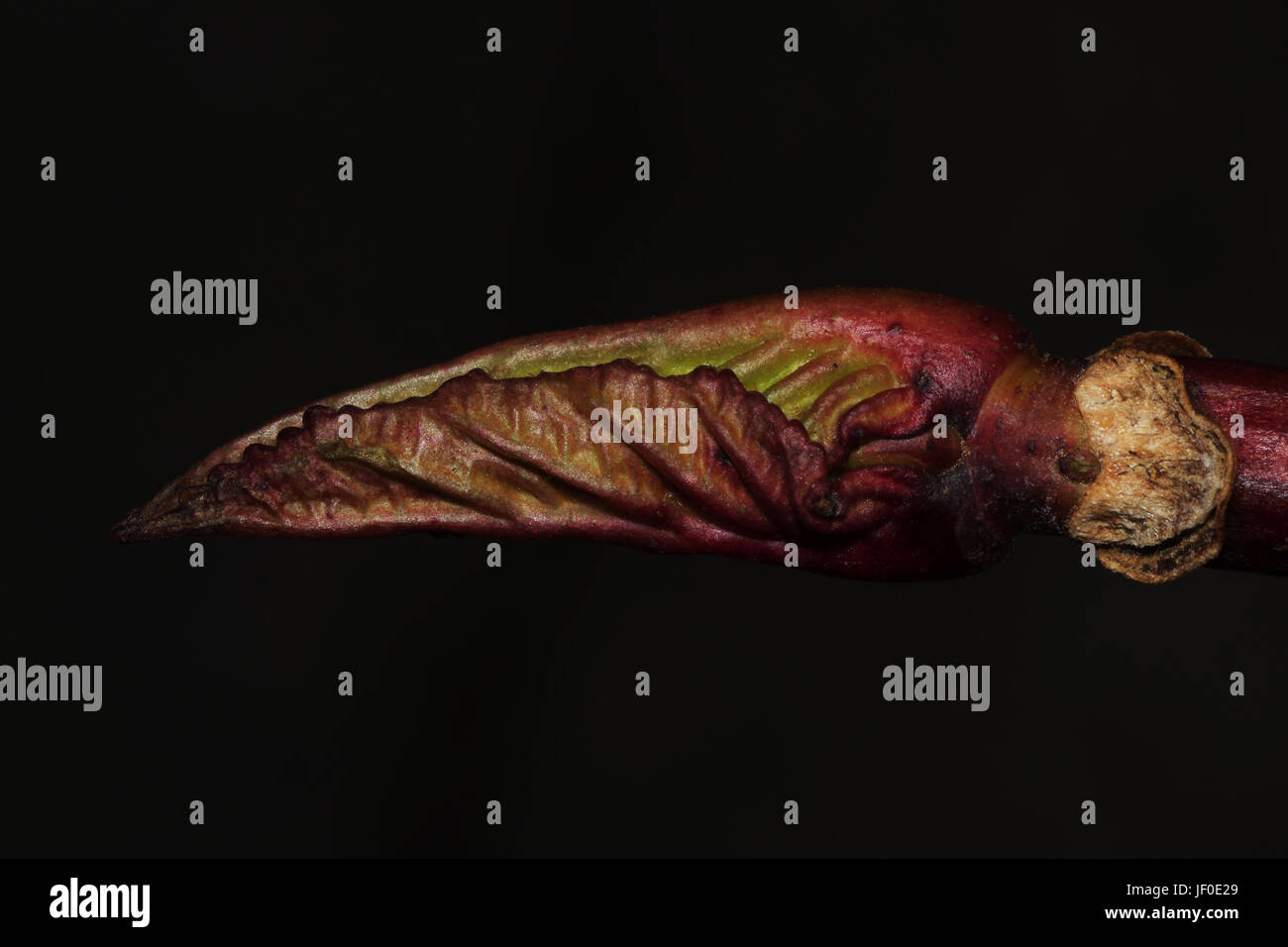 Unfolding leaf - Stock Image