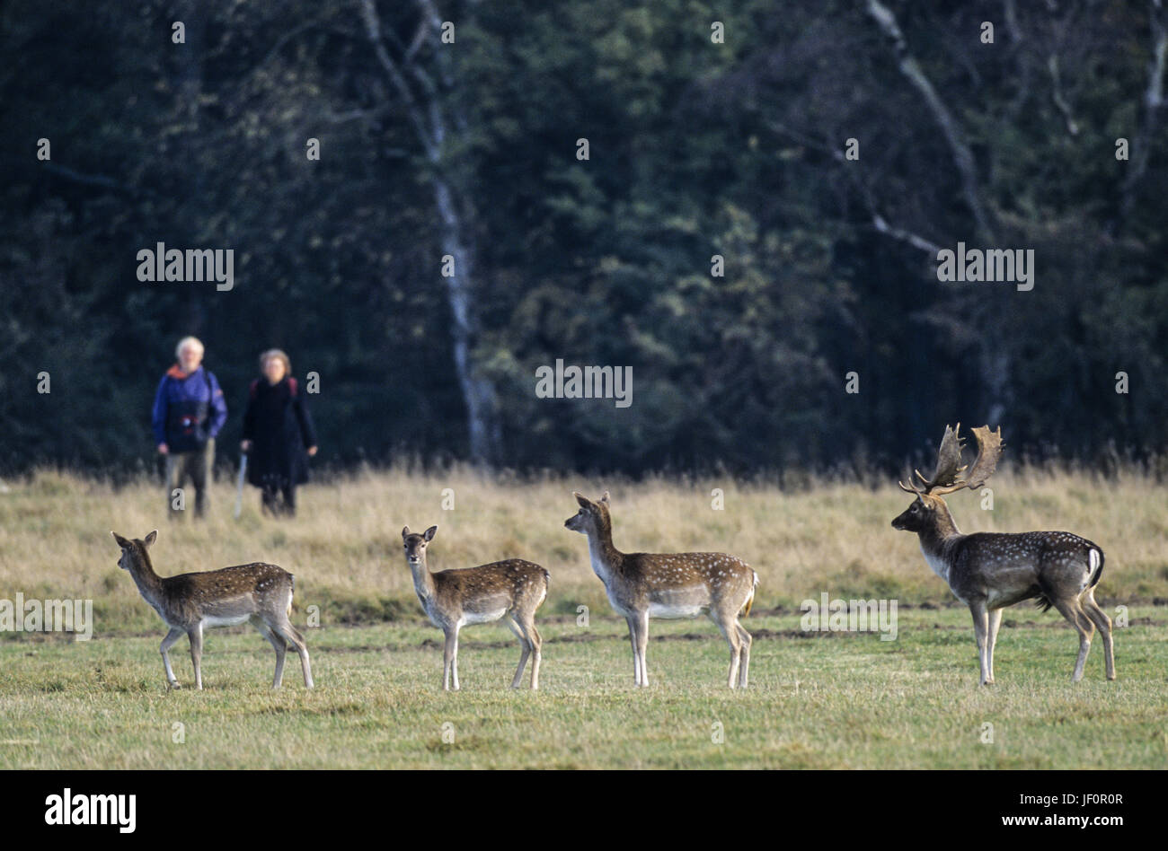 Walkers meet Fallow Deers / Jaegersborg Stock Photo