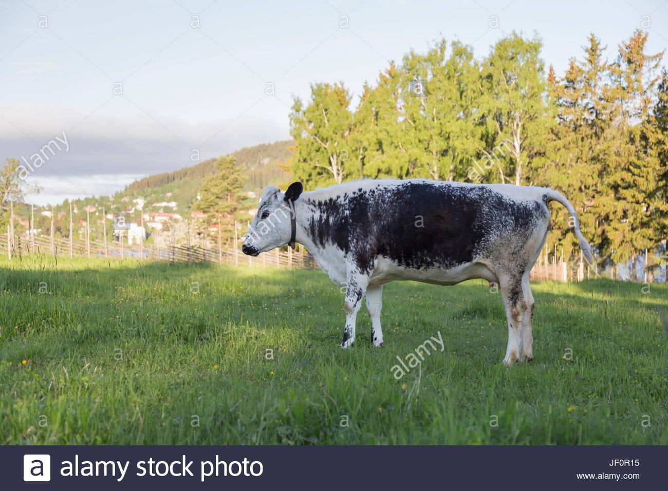 Swedish Mountain Breed on pasture - Stock Image