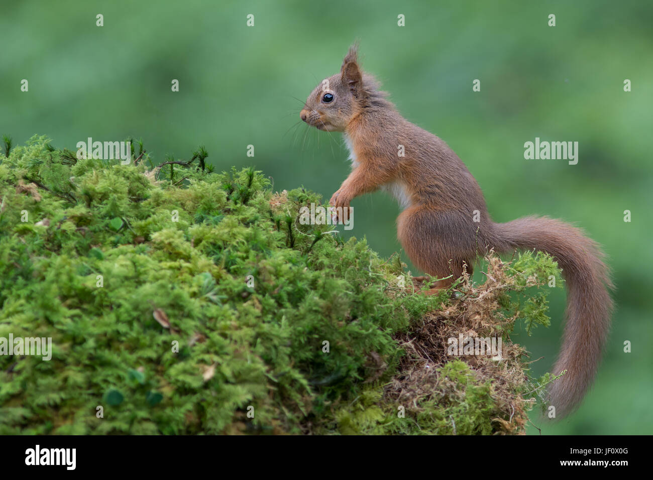 A side view full length profile portrait of an alert red squirrel standing on fauna looking to the left - Stock Image