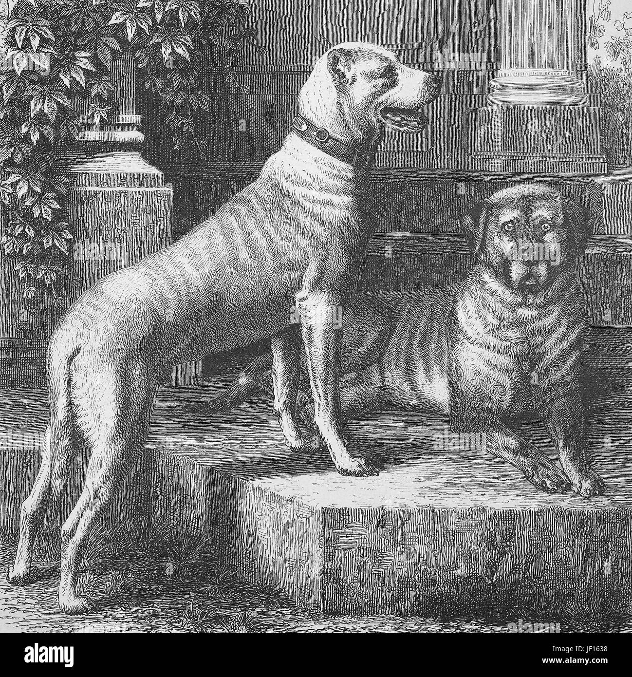 Historical illustration of Great Dane, a large German breed of domestic dog, deutsche Dogge, german Dogge, one has - Stock Image