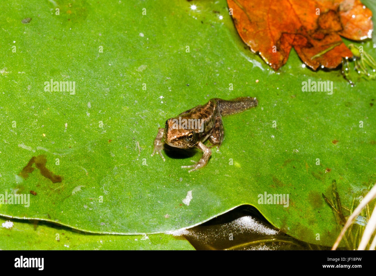 Froglet of the Common Frog (Rana temporaria) on a lily pad in a garden pond, East Sussex, UK Stock Photo