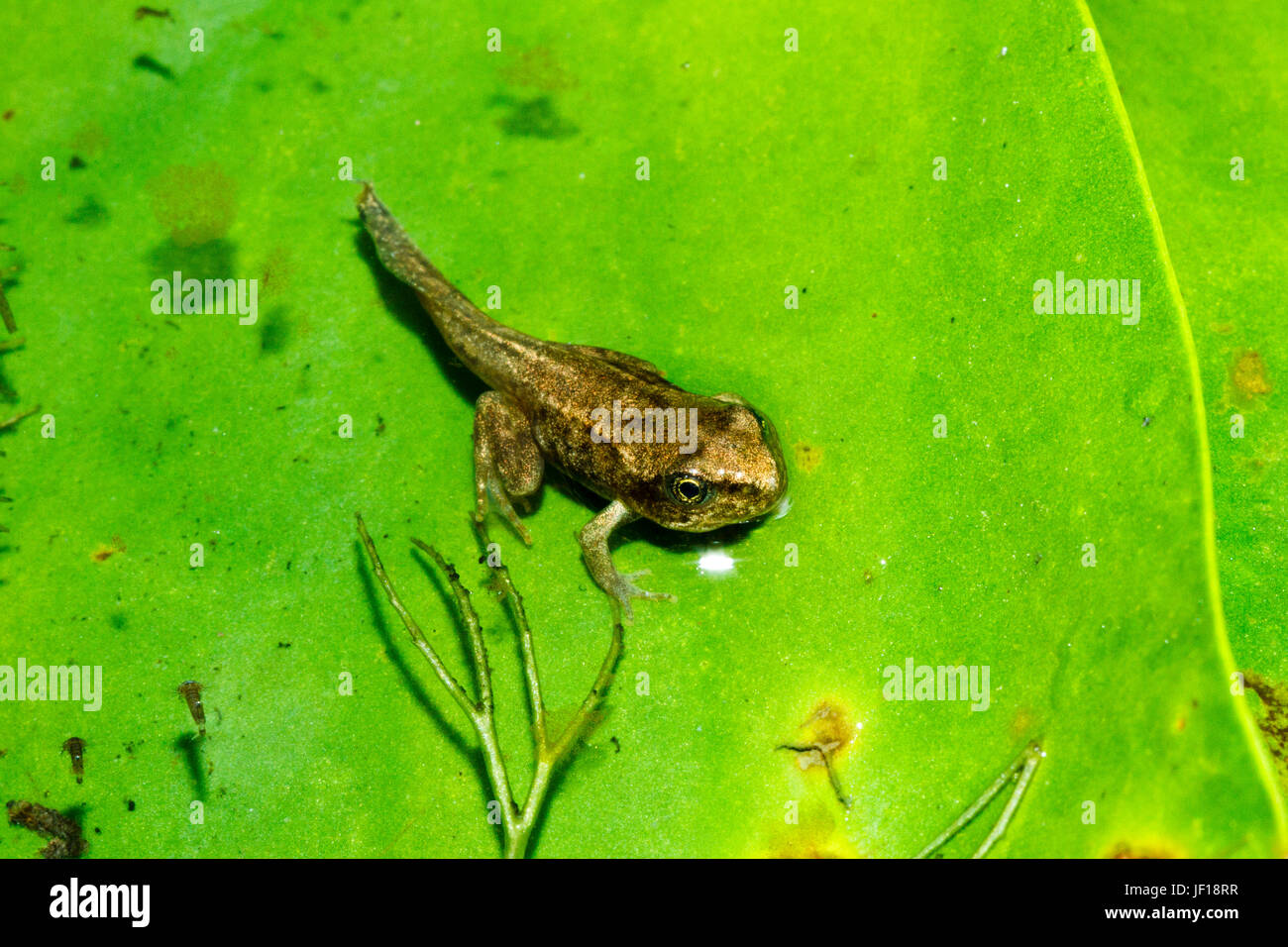 Froglet of the Common Frog (Rana temporaria) on a lily pad in a garden pond, East Sussex, UK - Stock Image