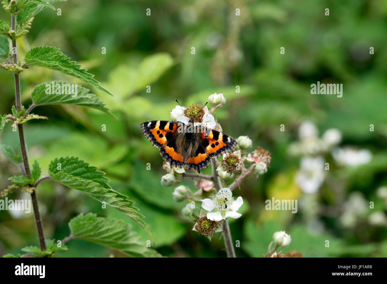 Small Tortoiseshell butterfly (Aglais urticae) on Bramble flower, Warwickshire, UK - Stock Image