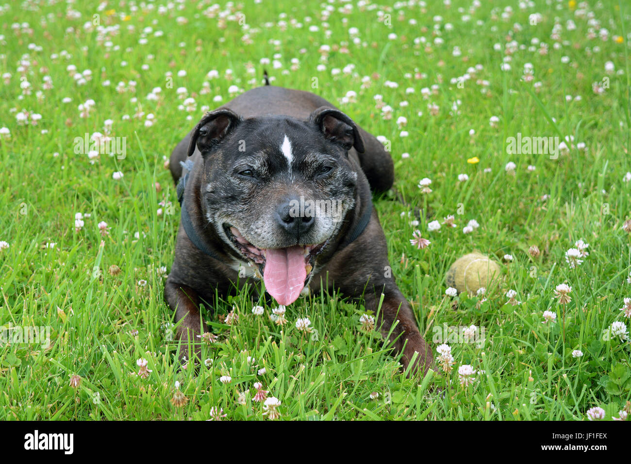 A Tired Staffordshire Bull Terrier After Running Around In The Fields - Stock Image