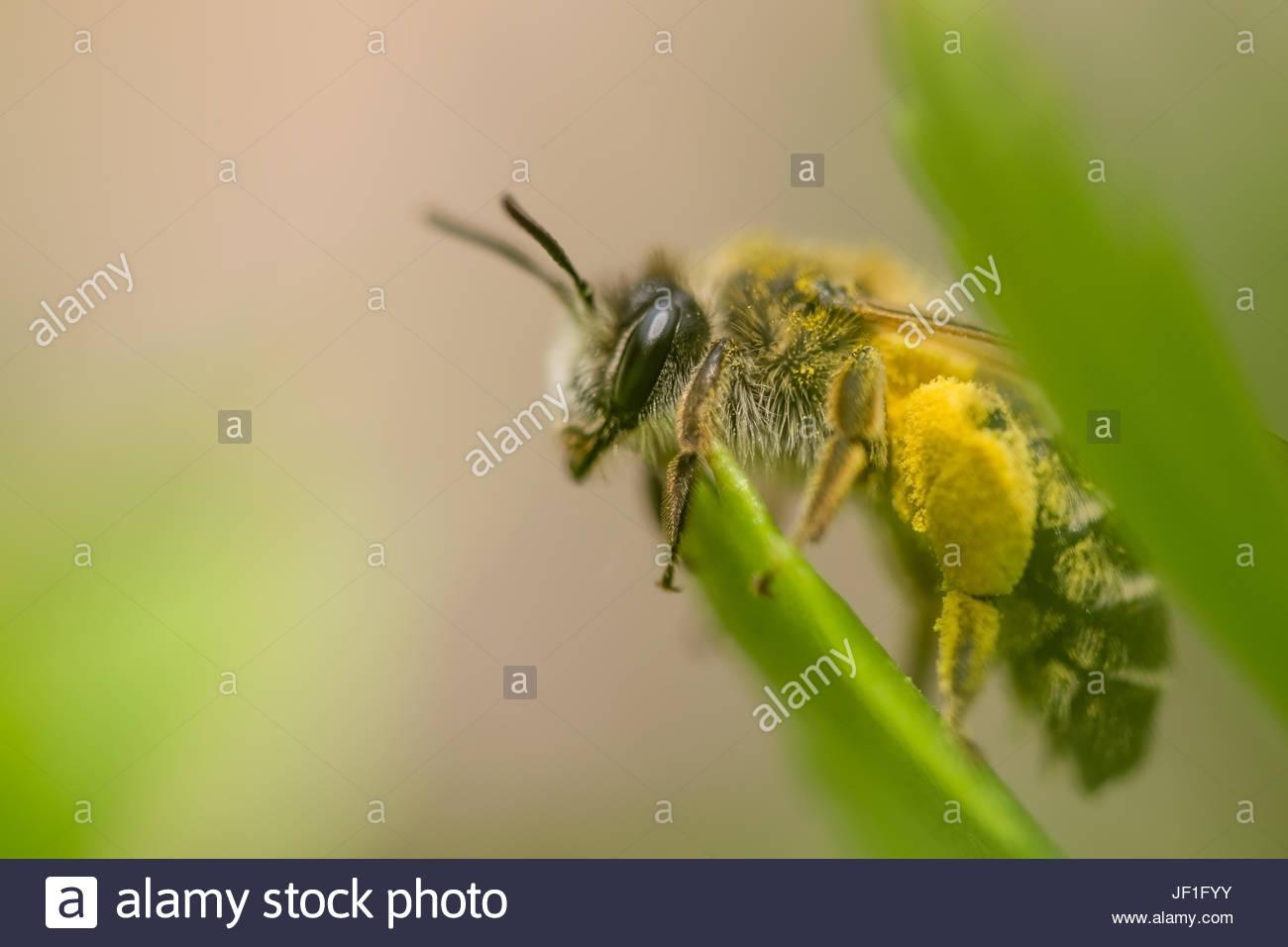 Bee Makro - Stock Image