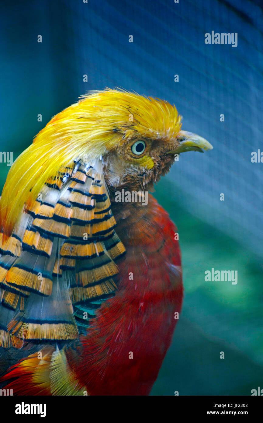 The golden pheasant or Chinese pheasant, (Chrysolophus pictus) is a gamebird of the order Galliformes (gallinaceous - Stock Image