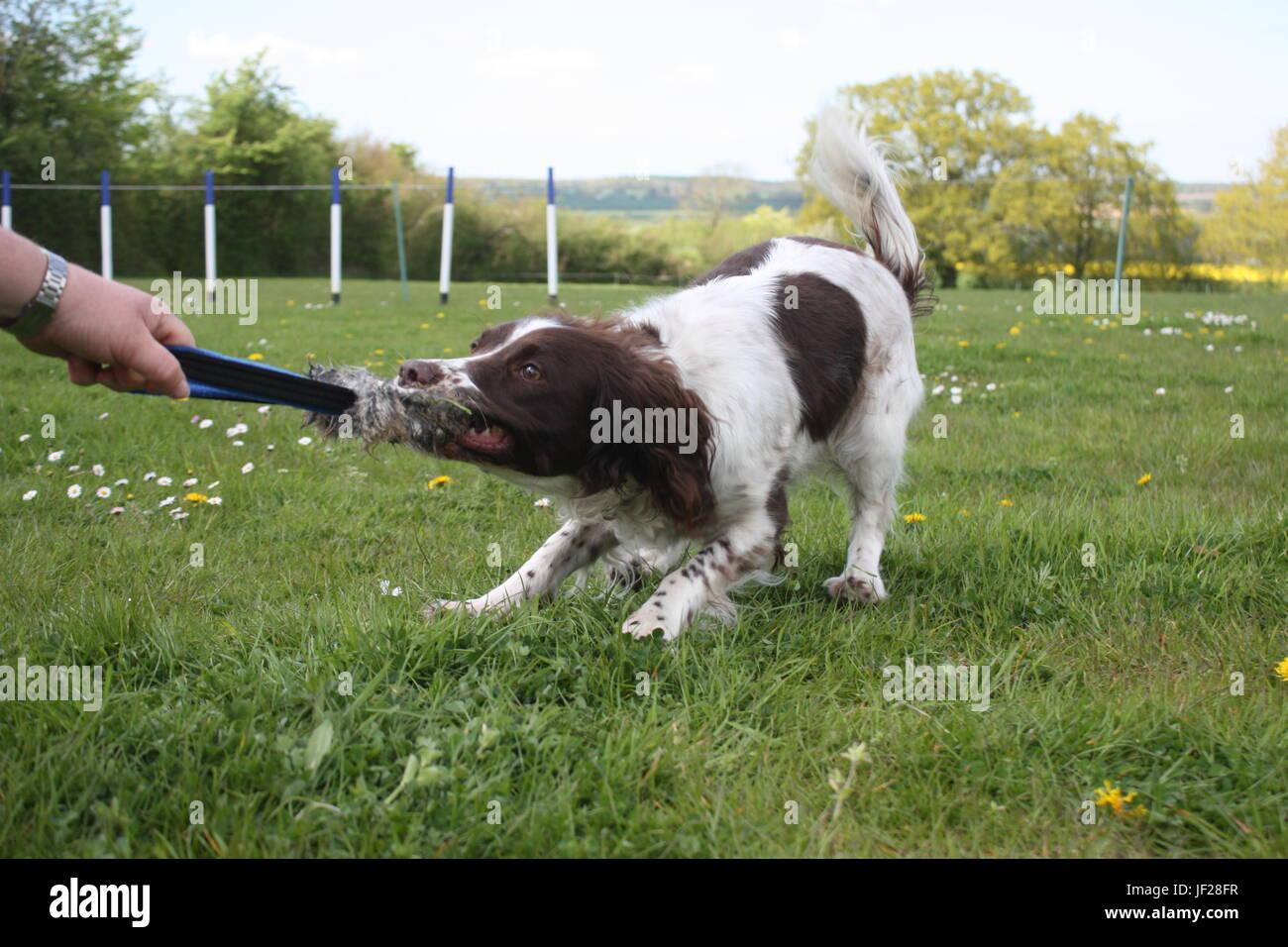 liver and white working type english springer spaniel gundog tugging on a toy - Stock Image