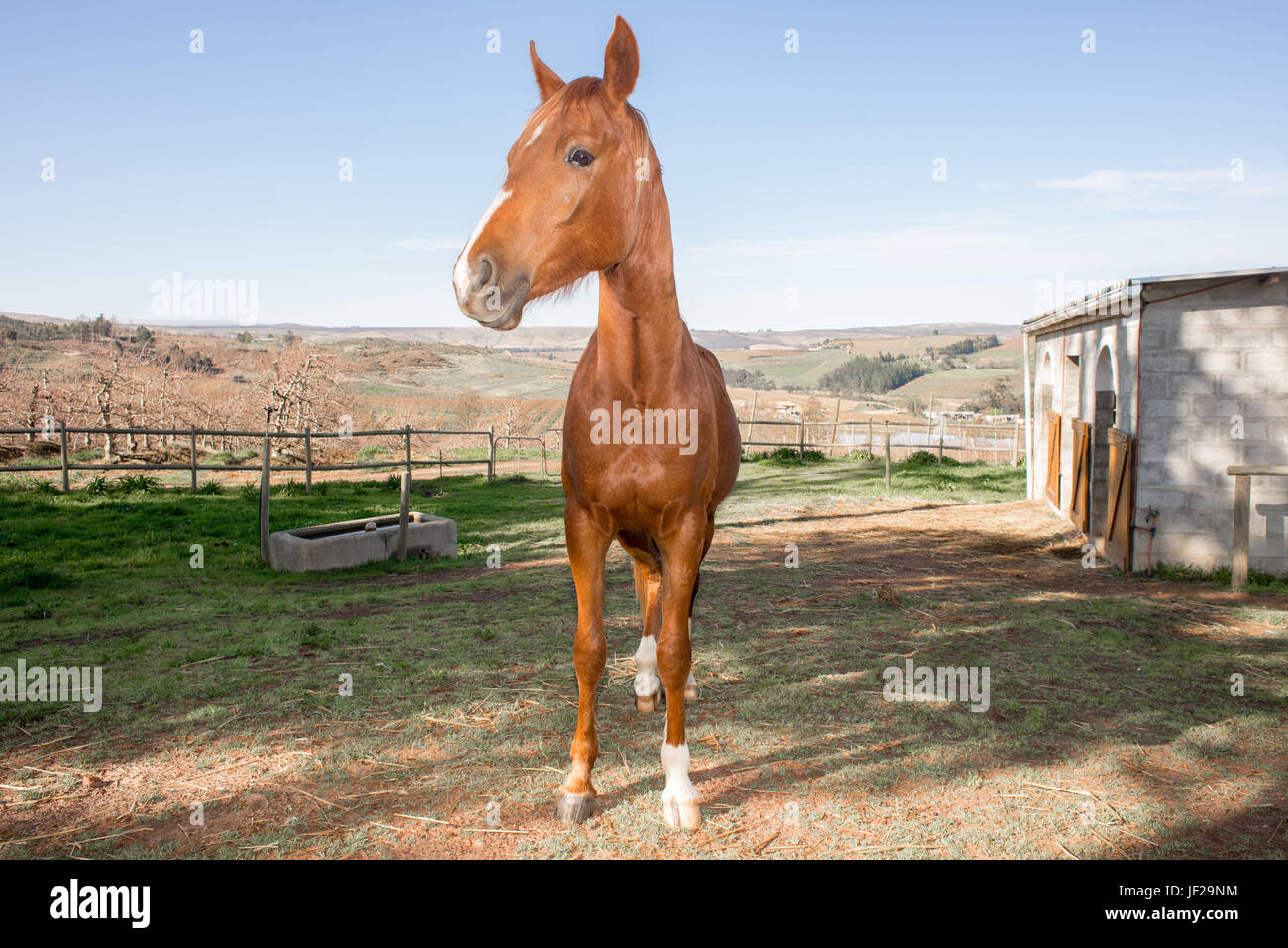 Arabian Horse by Stables - Stock Image